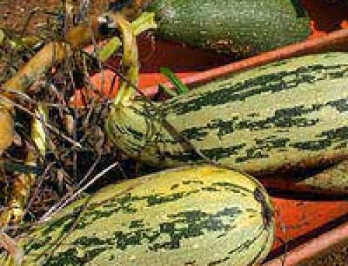 Grow Your Own Courgettes, Cucumbers, Marrows