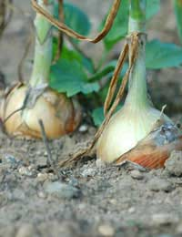 Grow Your Own Onions, Garlic, Leeks