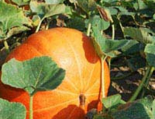 Grow Your Own Squash Plants