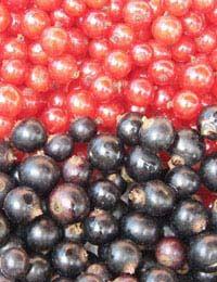 Grow Your Own Blackcurrants & Redcurrants