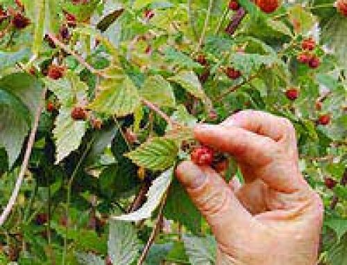 Foraging for Berries