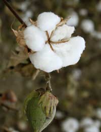 Grow Your Own Cotton