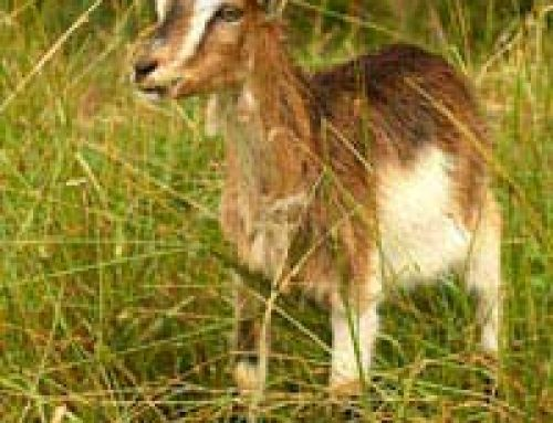Keeping a Goat